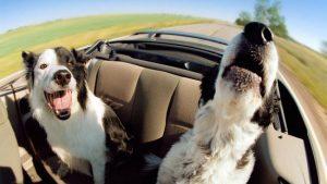 безопасность собак в машине